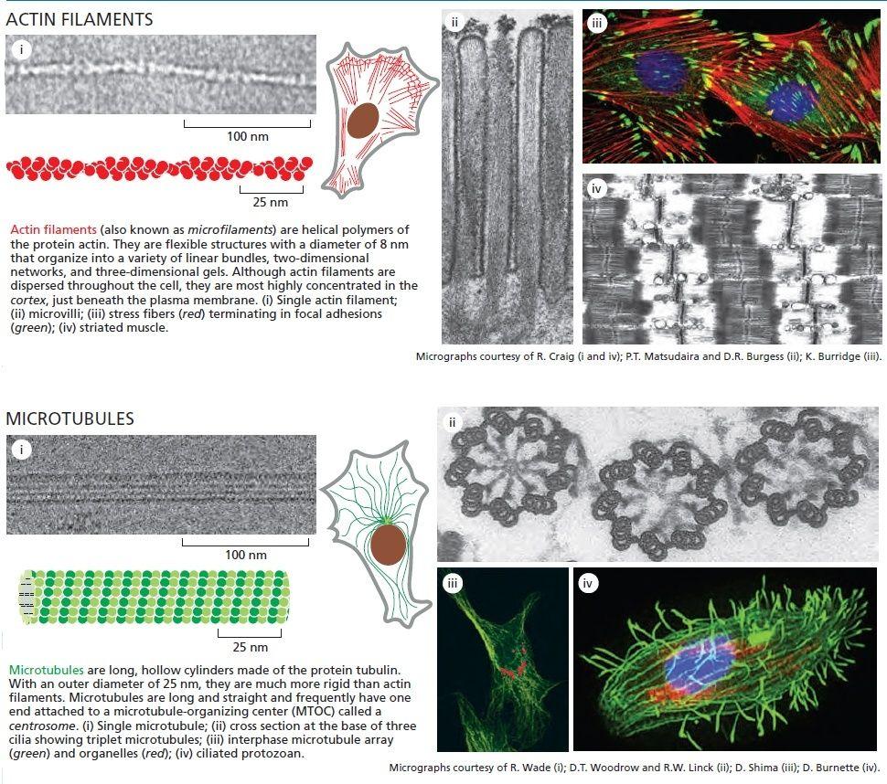 Microfilaments Microt11