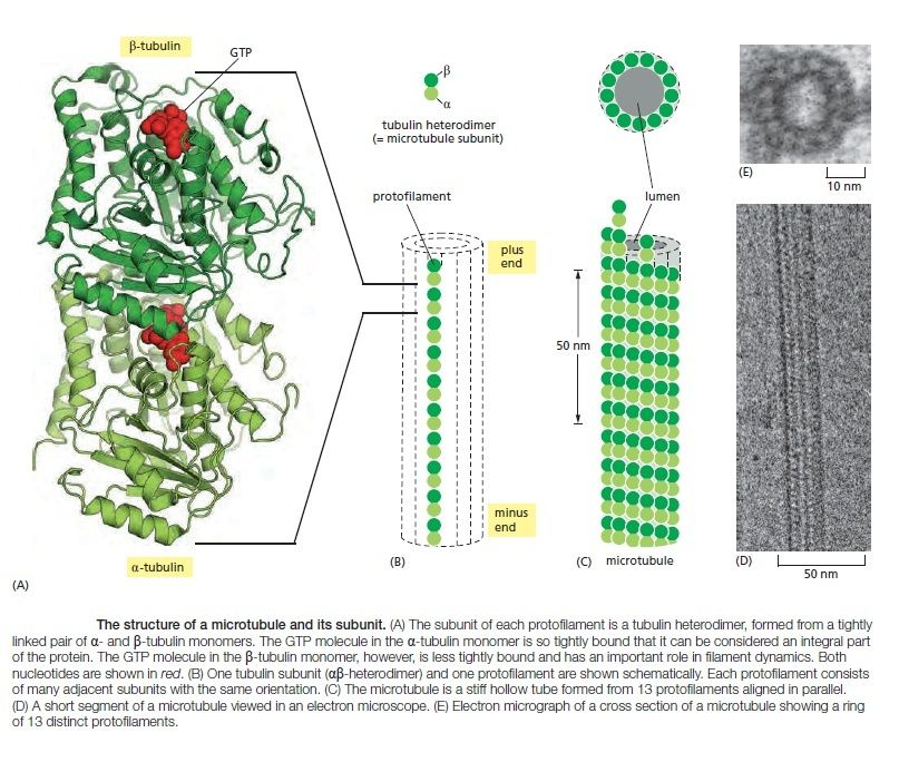 The astonishing  language written on microtubules, amazing evidence of  design Microt14