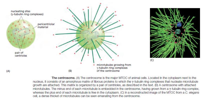 The astonishing  language written on microtubules, amazing evidence of  design Mtoc_c10