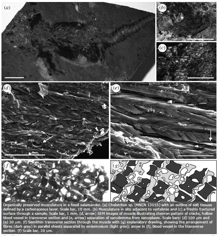 Carbon-14-dated dinosaur bones, non permineralized fossils, and soft tissue like proteins are evidence for young fossils Muscle12