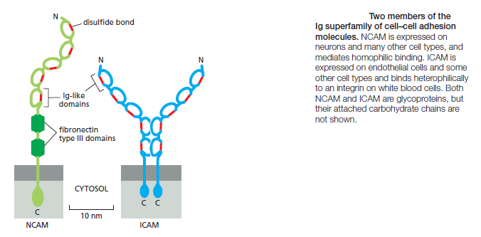 Cell Junctions and the Extracellular Matrix Ncam10