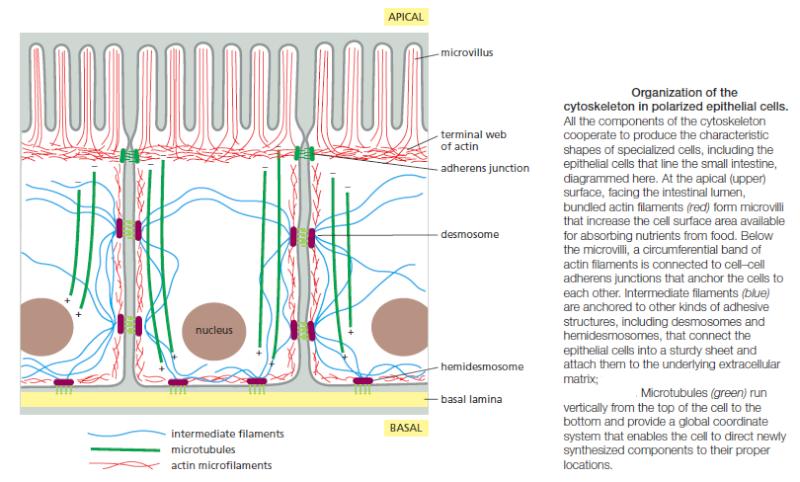 Microfilaments Organi10