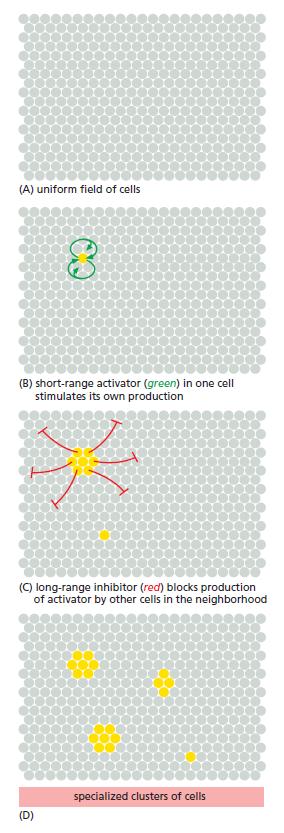 Development of Multicellular Organisms Patter12