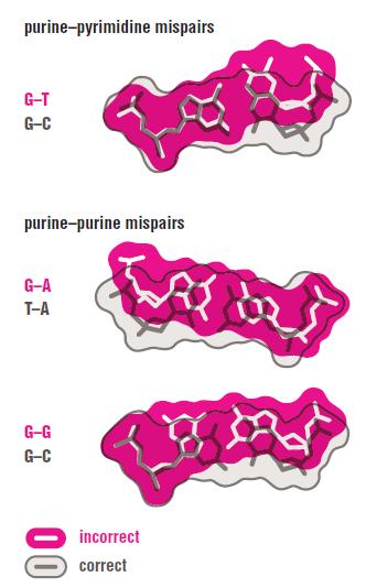DNA replication of prokaryotes Pirimi10