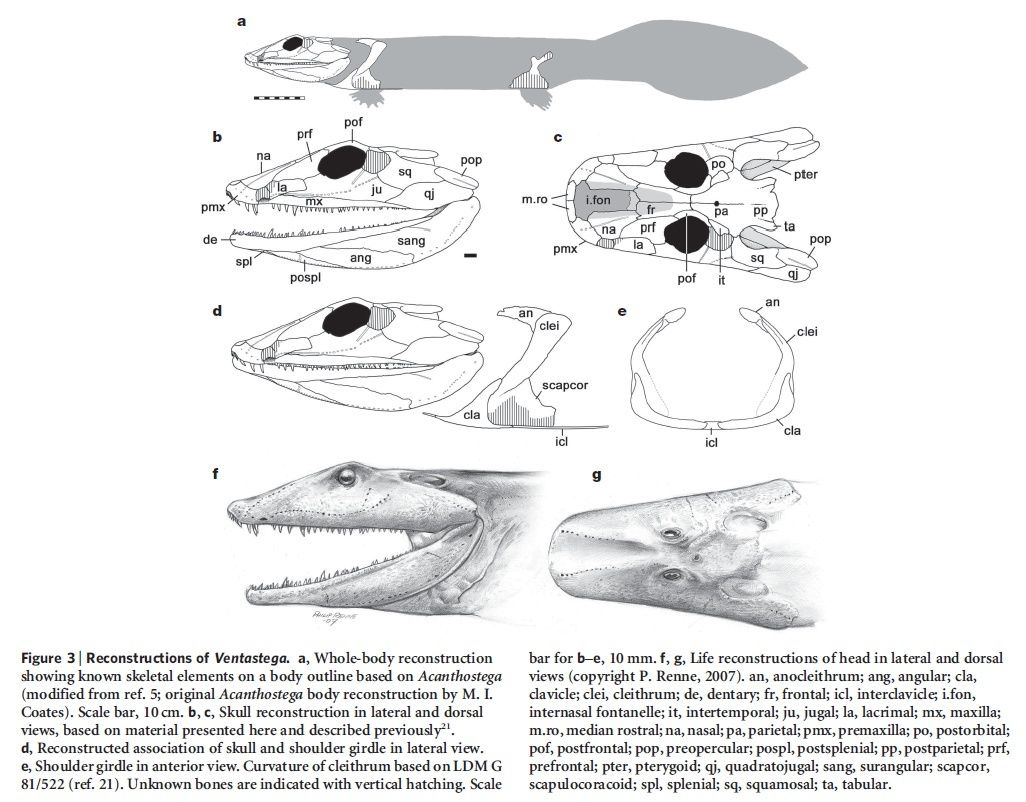 """"""" Tetrapods evolved """" . Really ?  Recons10"""