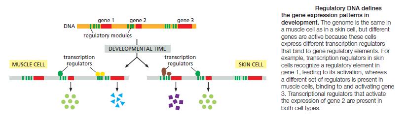 Development of Multicellular Organisms Regula13