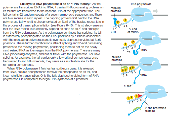 The spliceosome , the splicing code, and pre - mRNA processing in eukaryotic cells Rna_po10