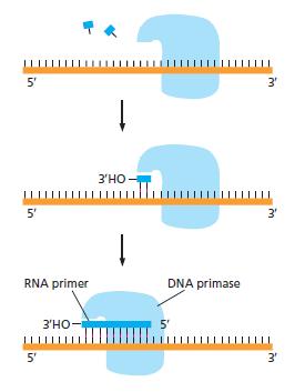 DNA replication of prokaryotes Rna_pr10