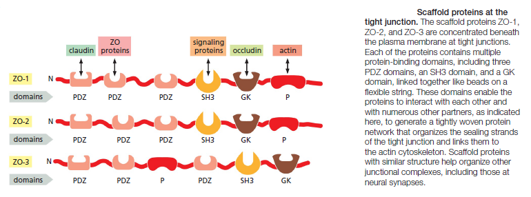 Cell Junctions and the Extracellular Matrix Scaffo11