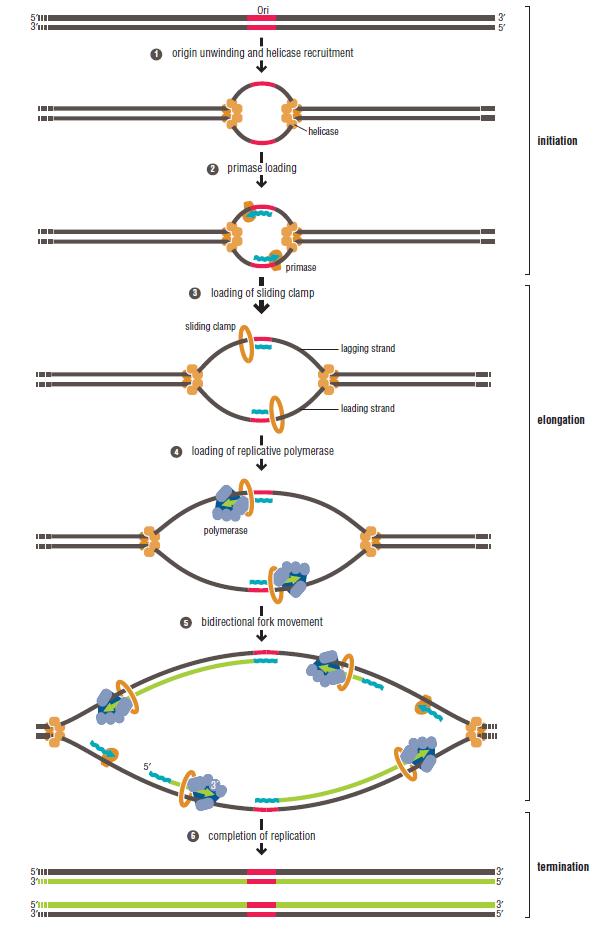 DNA replication of prokaryotes Sdfsd10