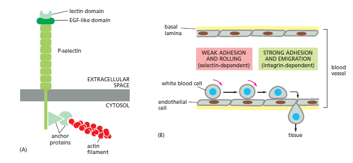 Cell Junctions and the Extracellular Matrix Select10