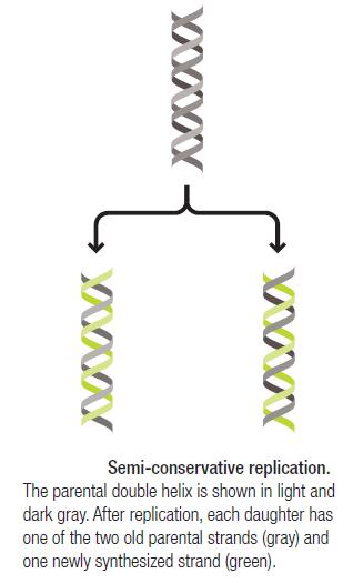 DNA replication of prokaryotes Semi_c10