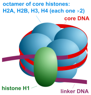 Histones function and  design Svrrq711
