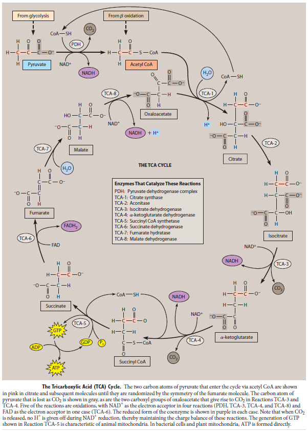 Major metabolic pathways and their inadequacy for origin of life proposals Tca_cy10
