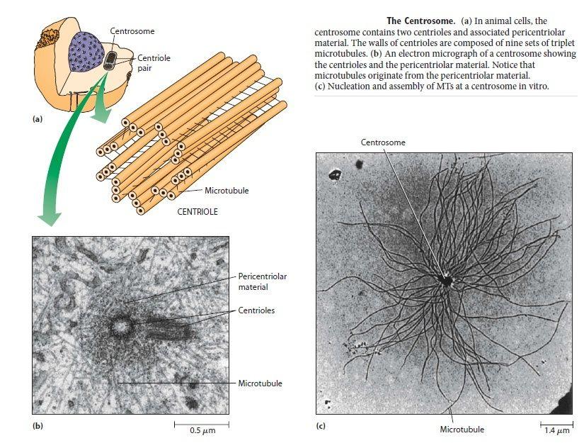 The astonishing  language written on microtubules, amazing evidence of  design The_ce10
