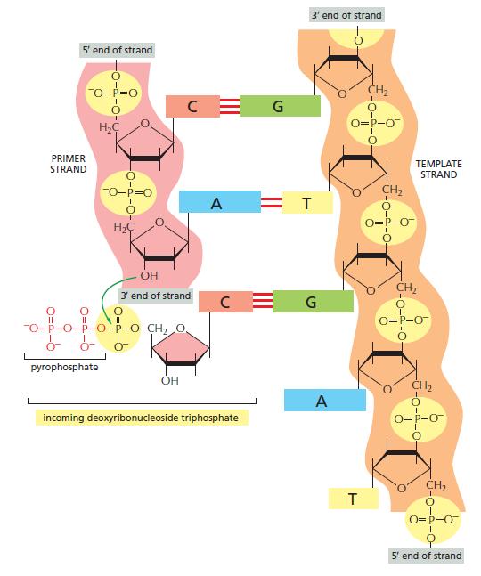 DNA replication of prokaryotes The_ch11