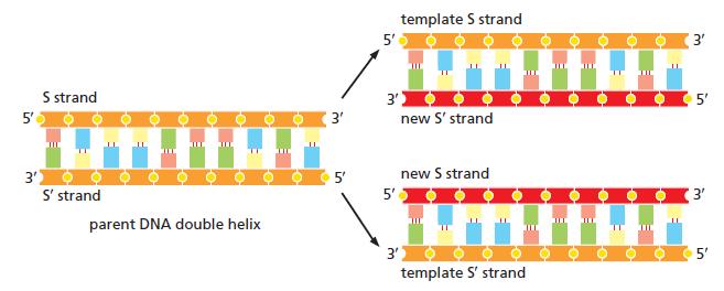 DNA replication of prokaryotes