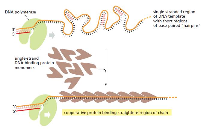 DNA replication of prokaryotes The_ef12