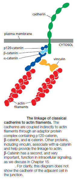 Cell Junctions and the Extracellular Matrix The_li10