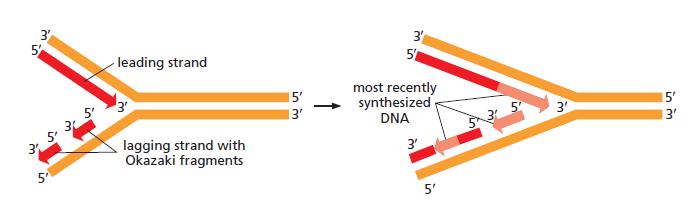 DNA replication of prokaryotes The_st10