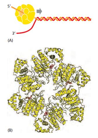 DNA replication of prokaryotes The_st11
