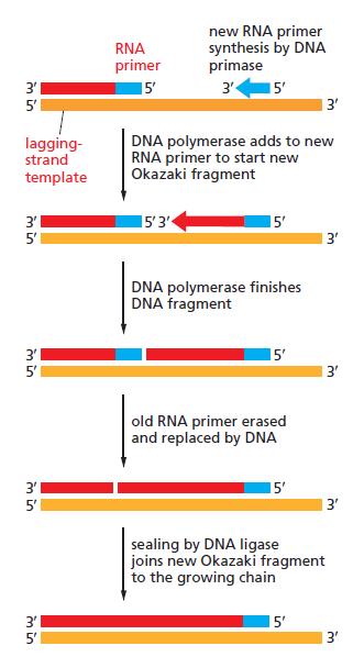 DNA replication of prokaryotes The_sy10