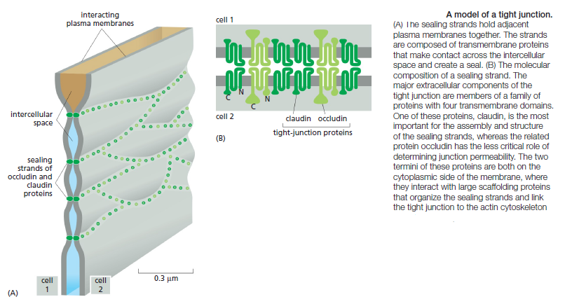 Cell Junctions and the Extracellular Matrix Tight_10