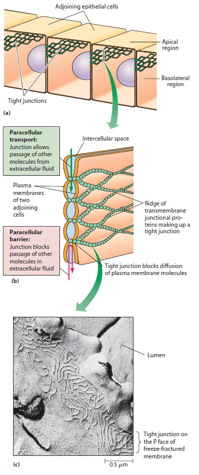 Cell Junctions and the Extracellular Matrix Tight_11