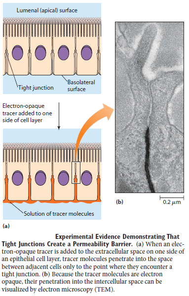 Cell Junctions and the Extracellular Matrix Tight_12