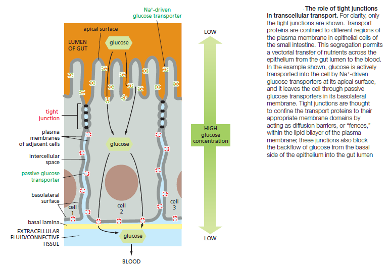 Cell Junctions and the Extracellular Matrix Transc10