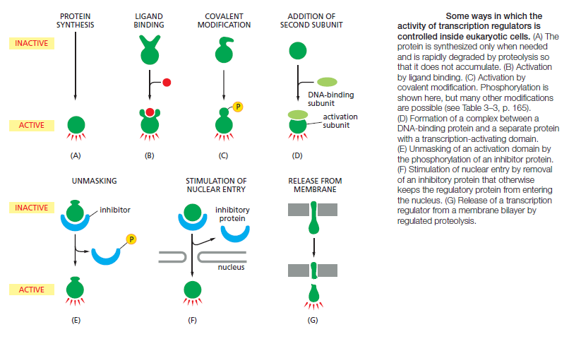 MOLECULAR GENETIC MECHANISMS THAT CREATE AND MAINTAIN SPECIALIZED CELL TYPES Transc16