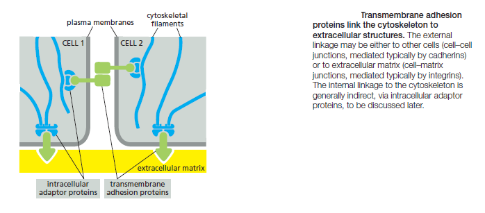Cell Junctions and the Extracellular Matrix Transm10
