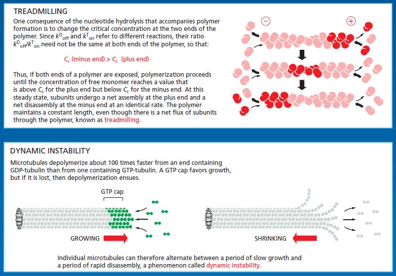 Microfilaments Treadm10