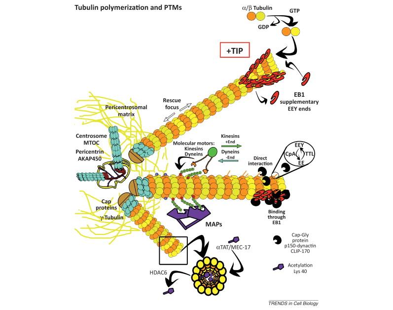 The astonishing  language written on microtubules, amazing evidence of  design Tubuli12