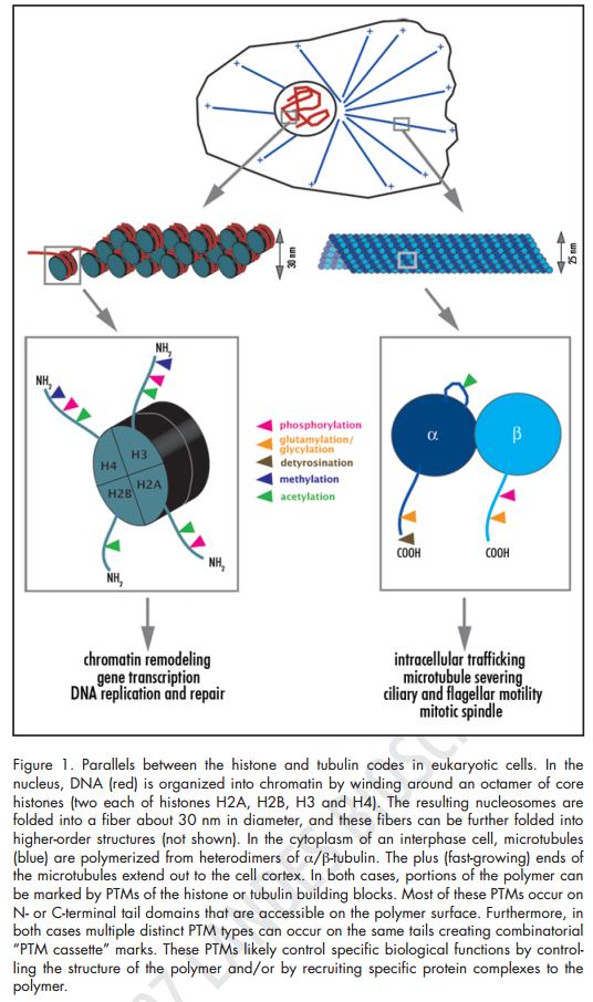 The astonishing  language written on microtubules, amazing evidence of  design Tubuli13
