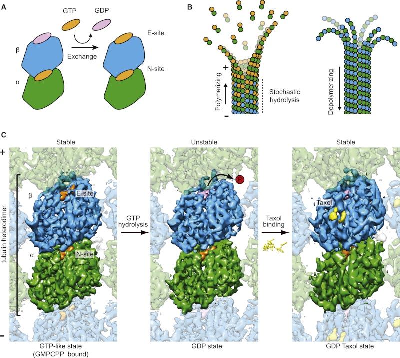 The astonishing  language written on microtubules, amazing evidence of  design Tubuli17