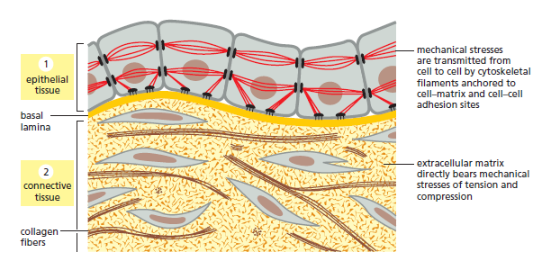 Cell Junctions and the Extracellular Matrix Two_ma10