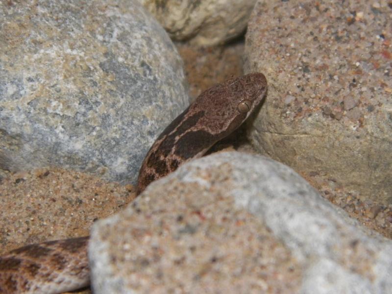 Hypsiglena torquata  100_5311