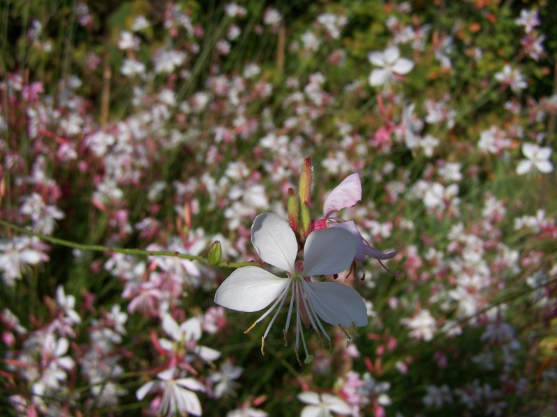 Les photos d'un jardin... 100_3817