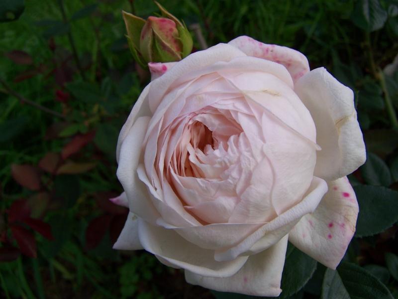 Les photos d'un jardin... 100_3831