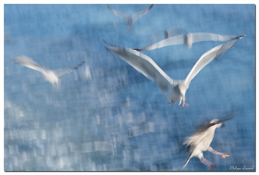Pygargue à queue blanche + maj fisch ! 11102011