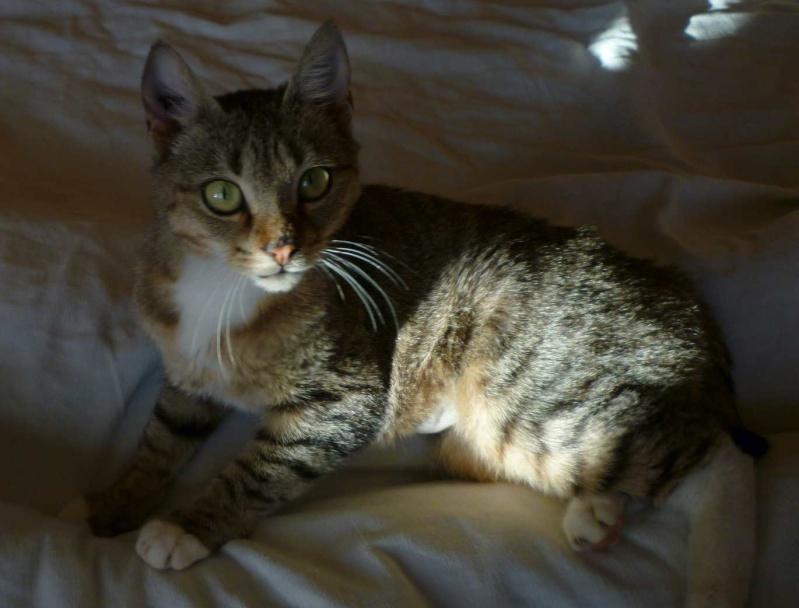 Josépha, femelle de type européen  tigrée fauve & blanche, née le 01/08/2014 Joseph10