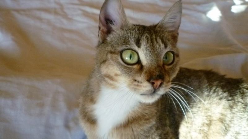 Josépha, femelle de type européen  tigrée fauve & blanche, née le 01/08/2014 Joseph11