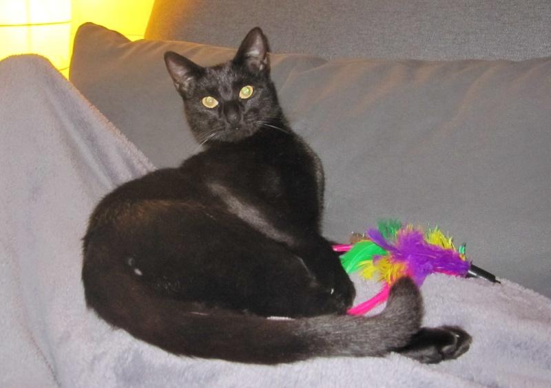 LIVIA, jeune chatte européen, robe noire, née en avril 2015 Livia_10
