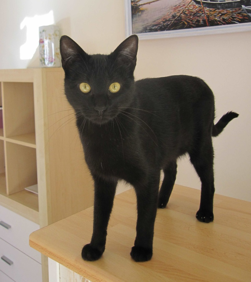 LIVIA, jeune chatte européen, robe noire, née en avril 2015 Livia_11
