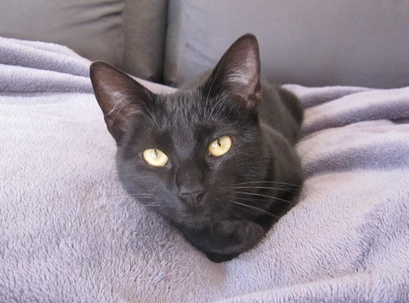 LIVIA, jeune chatte européen, robe noire, née en avril 2015 Livia_13