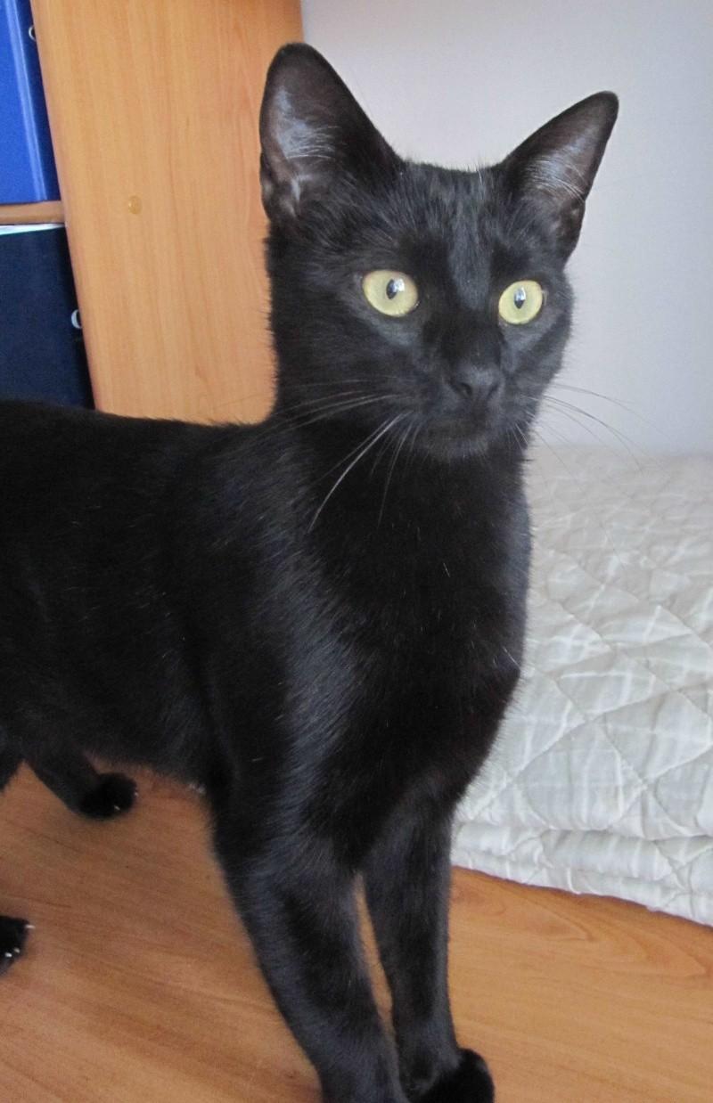 LIVIA, jeune chatte européen, robe noire, née en avril 2015 Livia_16