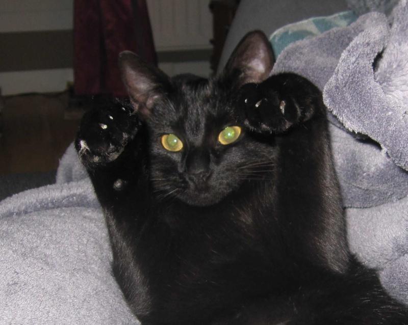 LIVIA, jeune chatte européen, robe noire, née en avril 2015 Livia_18