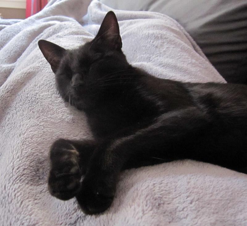 LIVIA, jeune chatte européen, robe noire, née en avril 2015 Livia_20