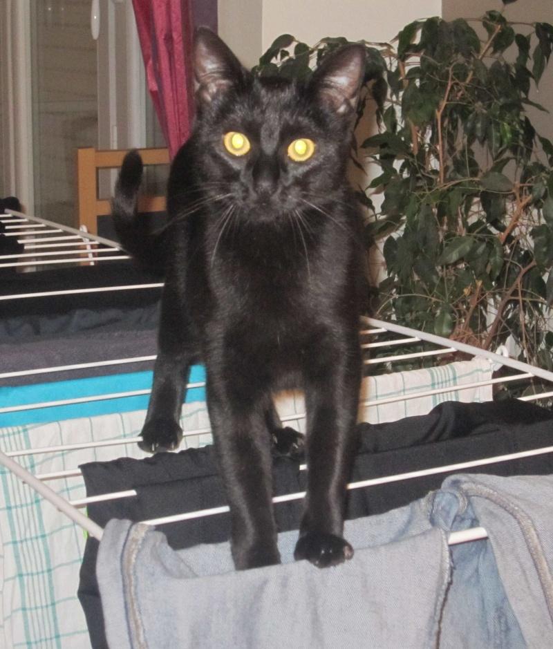 LIVIA, jeune chatte européen, robe noire, née en avril 2015 Livia_21